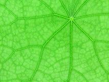 Contre-jour de feuille verte fraîche Photo stock