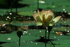 Contre-jour de gouttelettes de lotus et d'eau de FuBan Photo libre de droits
