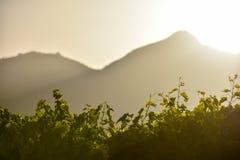 Contre-jour sikt över vinrankor i solnedgångljuset, copyspace arkivfoton