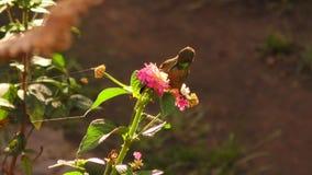 Contre-jour tiré d'un colibri alimentant sur le pollen lumineux de fleur banque de vidéos