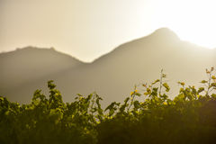 Contre-jour view over grapevines in the sunset light, copyspace Stock Photos