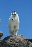contre le ciel clair bleu de montagne de chèvre Images stock