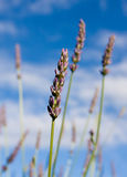 contre le ciel lavendar bleu sauvage Photos stock