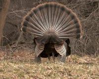 Contrefiche de la Turquie de vue arrière Image stock