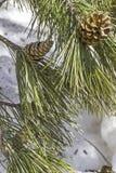 Contro del pino Fotografia Stock