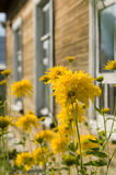 contro i fiori alloggi le finestre rurali Immagini Stock