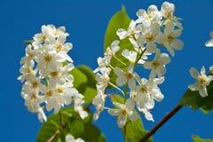 contro il cielo blu sbocciante della ciliegia dell'uccello Immagini Stock