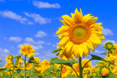 contro il girasole del cielo blu Fotografie Stock