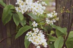 Contro lo sfondo di vecchio recinto di legno nello stile dell'annata ha allungato i rami di fioritura del prunus padus della cili Fotografie Stock Libere da Diritti