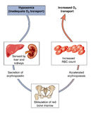 Control of blood oxygen. Diagram to show how the body controls a drop in blood oxygen through increased red blood cell production Royalty Free Stock Photo