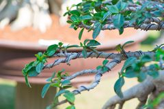 Control branch by wire in Bonsai style of Adenium tree or desert rose in flower pot Royalty Free Stock Photography