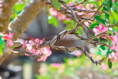 Control branch by wire in Bonsai style of Adenium tree or desert rose in flower pot Stock Images