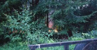 Leaf fire inside the hemlock line stock image