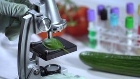 Control de calidad de la comida - científico que examina la hoja de la albahaca con el microscopio en laboratorio almacen de video