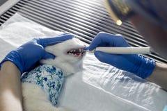 Control de los dientes del gato Imágenes de archivo libres de regalías