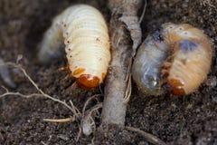 Control de parásitos, insecto, agricultura La larva del abejorro come la raíz de la planta Imagen de archivo
