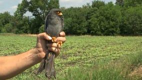 Control del ornitólogo el pájaro en la mano metrajes
