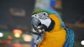 Control del pájaro de Macore de la rama y de las galletas de la consumición en el zoo-granja almacen de metraje de vídeo