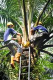 Control pollination for oil palm seeds. Wokers making a control polination jobs in a oil palm tree for germinated oil palm seeds Stock Image