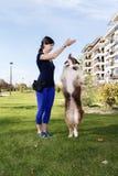 Controlador de perro que entrena a truco australiano de la actitud de la práctica de Relationship Outdoor Park del pastor Imagenes de archivo