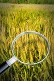 Controle do crescimento e da pesquisa de doenças do trigo - imagem do conceito fotografia de stock