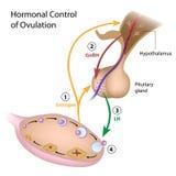 Controle hormonal da ovulação ilustração do vetor