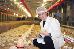 Controllare che lavora all'azienda agricola di pollo Immagini Stock