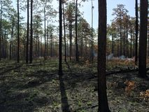 Controlled. Burn in the Apalachicola National Forest in 2015 stock photo