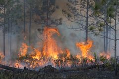 Controlled Burn in a Florida Forest. 21 Feb 2019 - Forestry workers ignite a controlled burn of the underbrush on approximately 500 acres of the Hal Scott royalty free stock photography