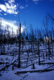 Controlled burn trees in Winter. Yellowstone National Park blue skies dead trees royalty free stock photography