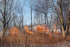 A controlled burn in a winter woods. A controlled burn of invasive brush in a winter snow filled woods royalty free stock photo