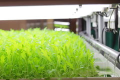 Controlled Environment Hydroponic Stock Image