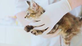Controlli l'esame del gattino sveglio piccolo alla clinica veterinaria video d archivio