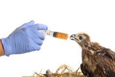 Controlli la medicina d'alimentazione con una siringa alla giovane aquila di mare immagine stock