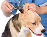 Controlli un orecchio del cane d'esame con un otoscopio Isolato immagine stock