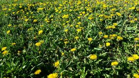 Controlling dandelions in grass. Weed problemin grass.  Lawn care in need of weed killer Royalty Free Stock Image