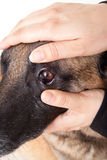 Controlling the eye and the conjunctiva of a dog Stock Photography