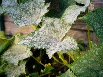 Controlling powdery mildew Royalty Free Stock Image