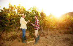 Controlling vine in vineyard Royalty Free Stock Photography