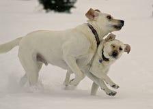 Controllo del corpo del Labrador Fotografie Stock Libere da Diritti