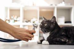 Controllo dell'alito Mano del veterinario in guanti protettivi che tengono un phonendoscope davanti alla museruola di grande gatt immagini stock libere da diritti