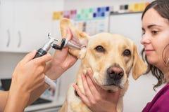 Controllo di udienza di un cane in clinica veterinaria immagine stock libera da diritti