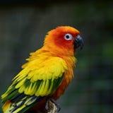 Conure длиннохвостого попугая Солнця или солнца & x28; Solstitialis& x29 Aratinga; симпатичный ye Стоковая Фотография RF