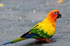 Conure длиннохвостого попугая Солнця или солнца & x28; Solstitialis& x29 Aratinga; симпатичный ye Стоковое Фото