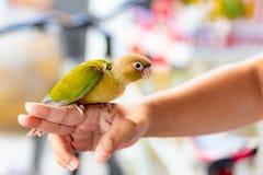 Conure один из вида уроженца попугая к Латинской Америке От Мексики пришл вниз к Вест-Инди и южной Чили, милому любимцу, стоковая фотография