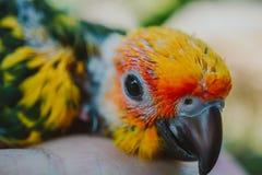特写镜头太阳Conure鸟 免版税库存图片