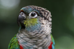 Conure Royalty Free Stock Photo
