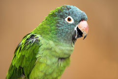 Conure. Beautiful Conure against a blurred background Stock Images