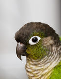 Conure cheeked verde Foto de Stock Royalty Free