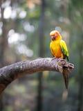 Conure détendant sur un arbre Image libre de droits